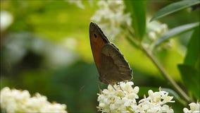 Vlinder op een witte bloem stock footage