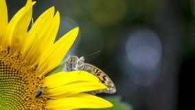 Vlinder op een zonnebloem Royalty-vrije Stock Fotografie