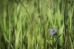 Vlinder op Gebied Royalty-vrije Stock Foto's