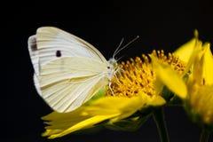 Vlinder op gele bloem Stock Foto's