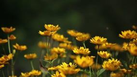 Vlinder op Gele Bloemen stock videobeelden
