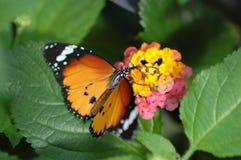 vlinder op gele en roze bloem royalty-vrije stock afbeeldingen