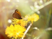 Vlinder op gele weidebloem Stock Afbeeldingen