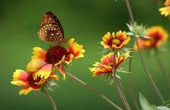 Vlinder op Geschilderde Daisy Stock Foto