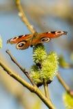 Vlinder op gesloten bloesem Royalty-vrije Stock Afbeelding