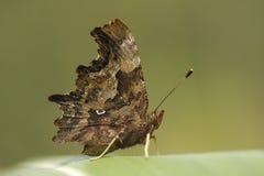 Vlinder op graanblad stock foto