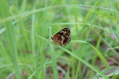 Vlinder op Gras Royalty-vrije Stock Afbeeldingen