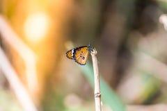 Vlinder op Grasgebied met Warm Licht Stock Fotografie