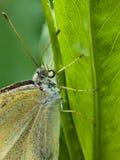 Vlinder op groen blad Stock Foto