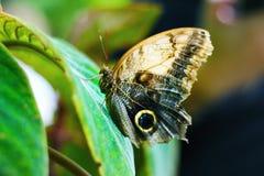 Vlinder op Groen Blad Stock Afbeelding