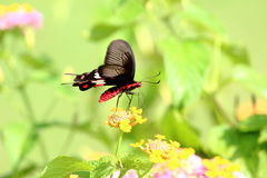 Vlinder op groene achtergrond Royalty-vrije Stock Foto