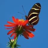 Vlinder op heldere rode bloem Stock Afbeelding