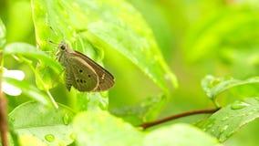 Vlinder op heldergroene bladeren Dichte Omhooggaand wordt neergestreken, Defocused-Achtergrond die stock video
