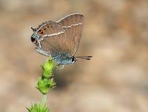 Vlinder op het gebied stock fotografie
