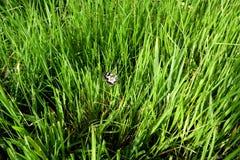 Vlinder op het gras Royalty-vrije Stock Foto
