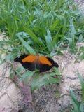 Vlinder op het gras wordt neergestreken dat royalty-vrije stock afbeeldingen