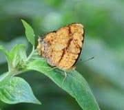 Vlinder op het groene blad Stock Afbeelding