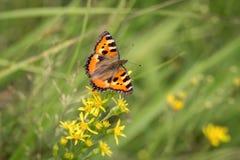 Vlinder op het groene gebied royalty-vrije stock afbeeldingen