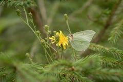 Vlinder op het groene gebied stock afbeelding