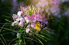 Vlinder op het spinosa jacq Koninklijke Park Ratchaphruek Chiang Mai Thailand van de cleomebloem royalty-vrije stock foto