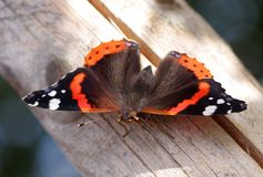 Vlinder op hout Stock Foto