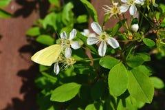 Vlinder op kersenbloesem Stock Foto