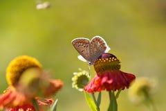 Vlinder op kleurrijke bloem Royalty-vrije Stock Afbeelding