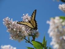 Vlinder op Koreaanse Sering royalty-vrije stock fotografie