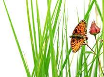 Vlinder op kruid Stock Afbeeldingen