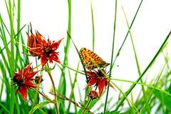Vlinder op kruid Stock Afbeelding