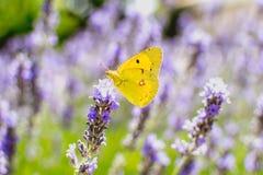 Vlinder op lavendel stock afbeeldingen