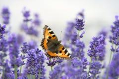 Vlinder op lavendel stock foto