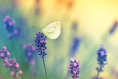 Vlinder op lavendel Royalty-vrije Stock Fotografie