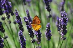 Vlinder op Lavendel Stock Foto's