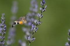 Vlinder op lavendel Royalty-vrije Stock Afbeeldingen