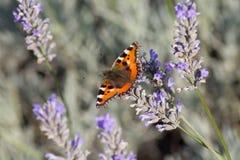 Vlinder op lavendel Royalty-vrije Stock Afbeelding