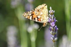 Vlinder op lavendelbloem Royalty-vrije Stock Fotografie