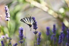 Vlinder op lavendelbloem stock afbeelding