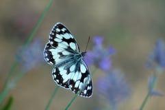 Vlinder op lavendelbloemen stock afbeelding