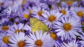 Vlinder op lilac aster in zonnig weer stock afbeeldingen