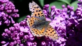 Vlinder op lilac bloemenvleugels stock videobeelden