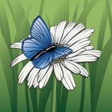 Vlinder op madeliefje Stock Afbeeldingen