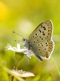 Vlinder op madeliefjebloem stock foto's