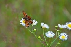 Vlinder op madeliefjes Stock Afbeeldingen
