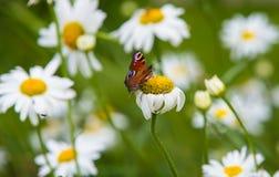 Vlinder op madeliefjes in tuin Stock Foto