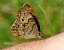 Vlinder op Mijn Wapen Stock Foto