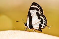 Vlinder op Natuurlijk Royalty-vrije Stock Foto