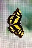 Vlinder op netto stock afbeelding