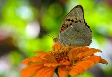 Vlinder op oranje bloem Stock Foto's