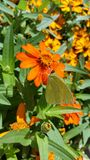 Vlinder op oranje bloem Royalty-vrije Stock Afbeeldingen
